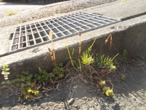 駐車場脇のコンクリートから生える数本のつくし