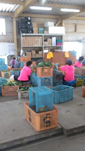 森町の鈴木農園でとうもろこしの甘甘娘(かんかんむすめ)を店頭に並べられるように従業員さんが作業しています。